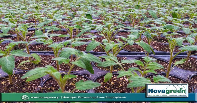 Σπορόφυτα Τομάτα Θερμοκηπίου σε Γλαστράκι Φ9   36 Ημερών (30 Ιαν 2019)
