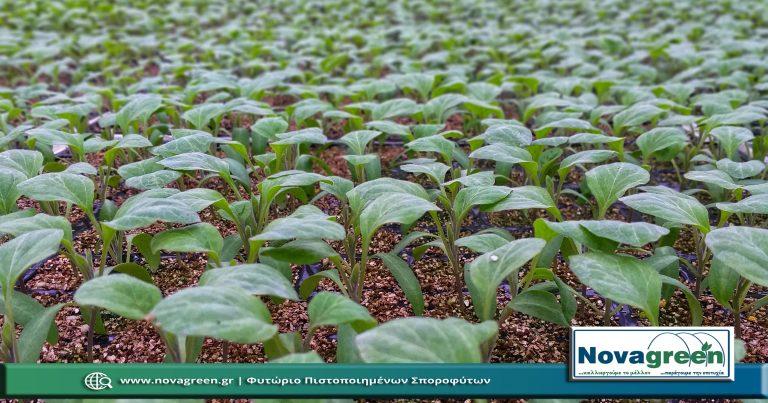 Σπορόφυτα Μελιτζάνα Λαγκαδά σε 224 Θέσεων   37 Ημερών (01 Φεβ 2019)