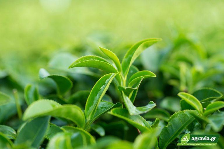 Συντήρηση Πράσινου Τσαγιού με Μικροκάψουλες   Agravia