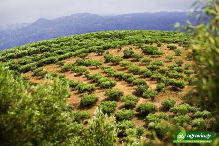 Mαρόκο: 1,2 εκ. Στρέμματα Λιόφυτα Αλλάζουν την Αγορά Ελαιολάδου   Agravia