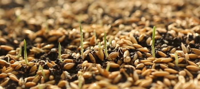 Πότε σπέρνουμε το σιτάρι; Όταν το έδαφος είναι ξηρό ή περιμένουμε τη βροχή να έρθει;   Farmacon